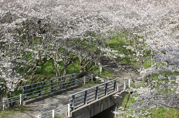 長崎市三京町ダム、休憩場下の風景写真(桜と橋)