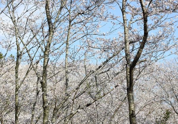 美しいソメイヨシノの群生、満開の花の写真