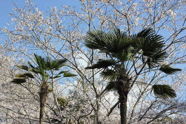 ヤシの木とソメイヨシノの花の写真