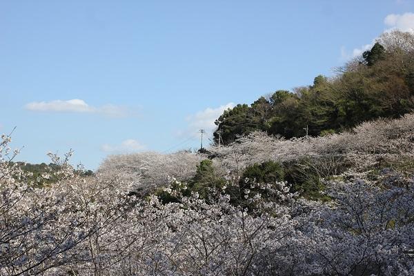 長崎市三京町ダム周辺のサクラの様子の写真