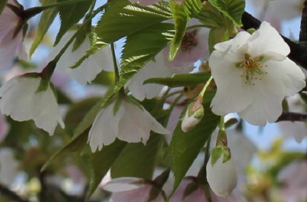 白やピンクの花が一緒に咲いるサクラ、白花の写真