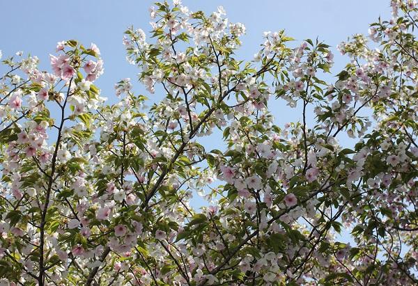 白やピンクの花が一緒に咲いるサクラがたくさん咲いてる様子に写真