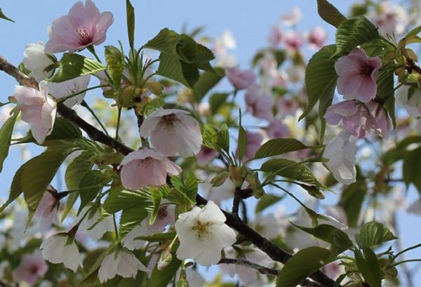 白とピンクの花が一緒に咲いてる桜の写真