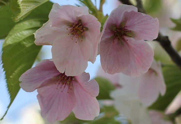 白やピンクの花が一緒に咲いるサクラの赤花、散る前の写真