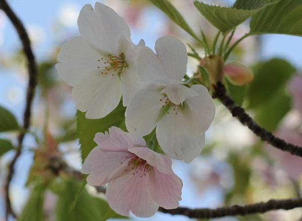白やピンクの花が一緒に咲いるサクラのアップ写真