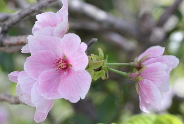 白やピンクの花が一緒に咲いるサクラ、赤花の写真