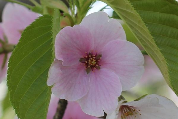 白やピンクの花が一緒に咲いるサクラ、赤花のアップ写真
