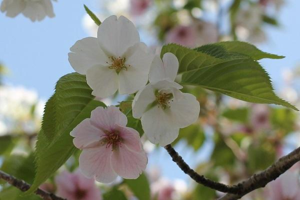 一枝から白とピンクの花の写真