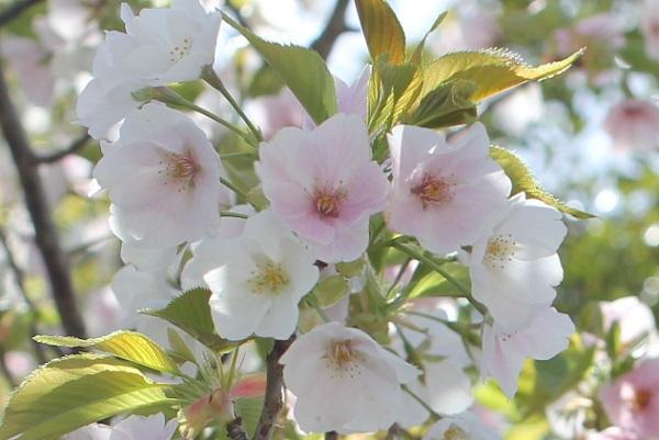 白やピンクの花が一緒に咲いるサクラの花の様子の写真