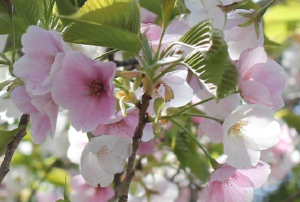 白やピンクの花が一緒に咲いるサクラの花の写真