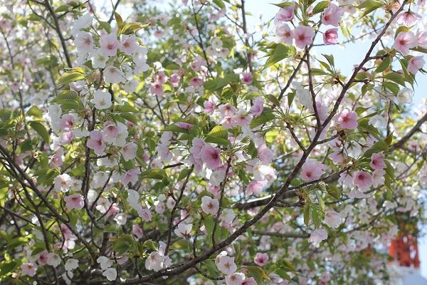 稲佐山の展望所で見かけた、白とピンクの花が咲いているサクラ