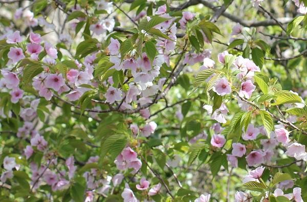 白やピンクの花が一緒に咲いるサクラが咲いてる様子に写真
