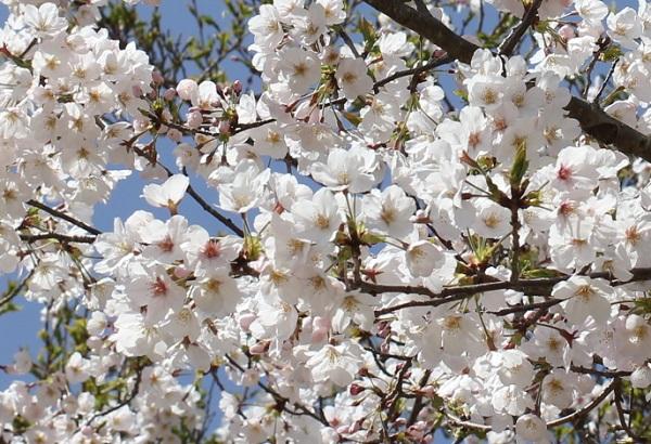 ソメイヨシノが咲いてる様子の写真