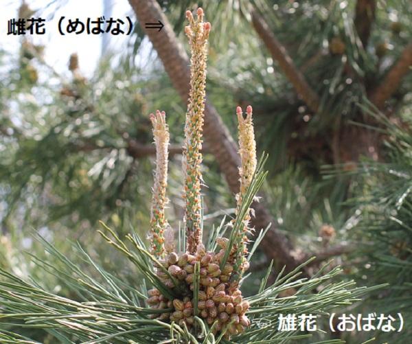 マツの花のつくり 雄花 雌花の説明写真