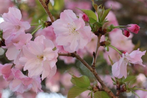 ヤエザクラの花のアップ写真