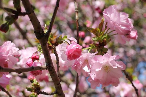 美しいヤエザクラ(八重桜)の花の写真