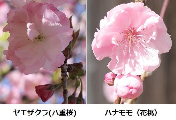 ヤエザクラ(八重桜)とハナモモ(花桃)花のアップ、比較写真