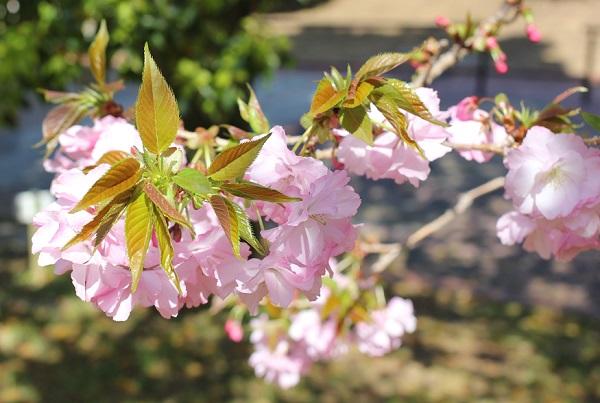 新葉を枝につけてるヤエザクラの花の写真