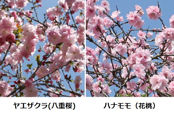 ヤエザクラ(八重桜)とハナモモ(花桃)の満開の花、比較写真