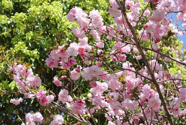 濃いピンクの蕾と優しいピンクのヤエザクラの写真