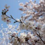美しいソメイヨシノの花の写真