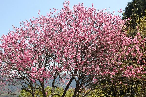 大きなハナモモ(花桃)の木