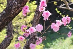 公園で見かけた花桃の写真