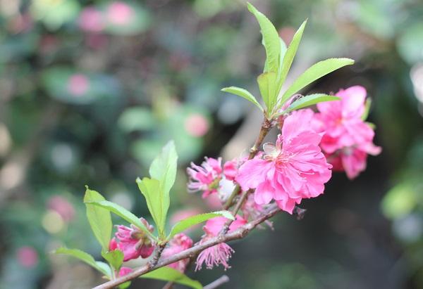 花桃の花の終わり、葉が出てきた様子の写真