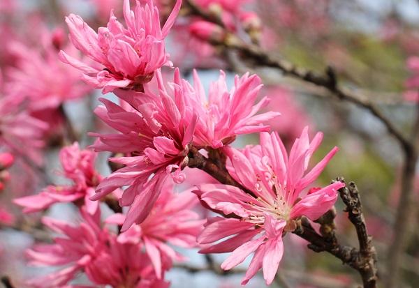 美しいキクモモ(菊桃)の花の写真