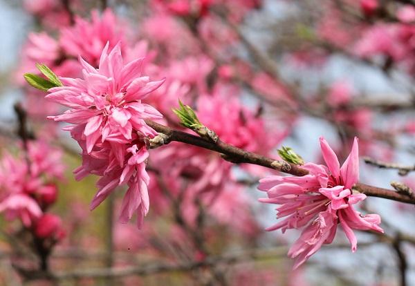 キクモモ(菊桃)の花と新葉の写真