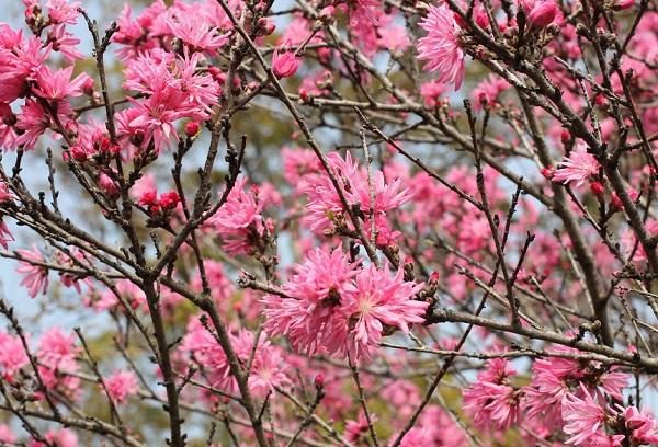 キクモモ(菊桃)の花がたくさん咲いてる写真