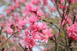 春に咲いていたキクモモ(菊桃)の花