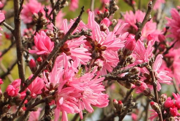 キクモモ(菊桃)の花や蕾の写真
