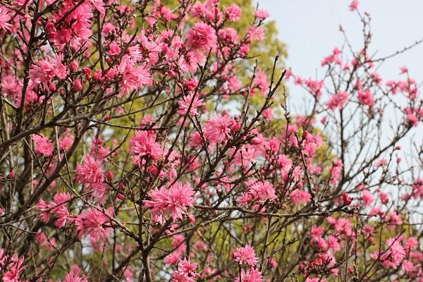 キクモモ(菊桃)が咲いてる様子の写真