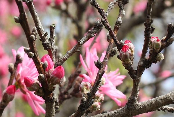 キクモモ(菊桃)の蕾の写真