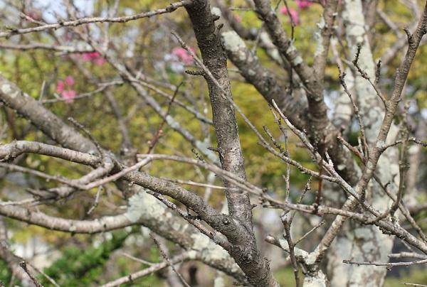 キクモモ(菊桃)の幹や枝の写真