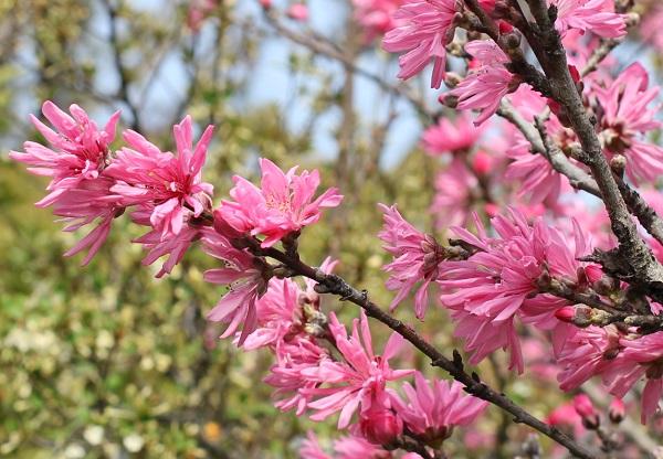 春を彩るキクモモ(菊桃)の写真