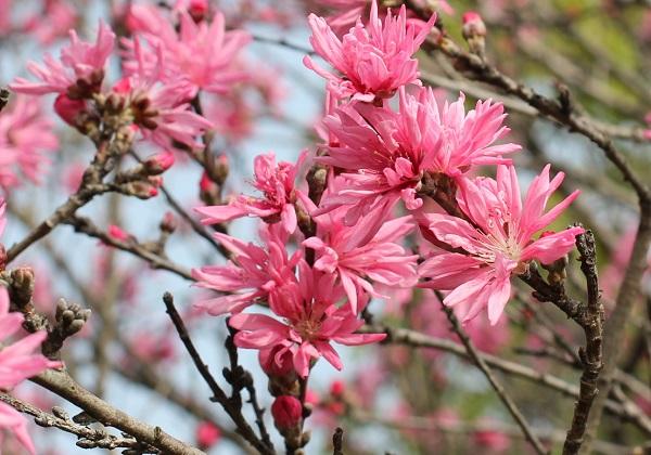美しく咲き誇るキクモモ(菊桃)の写真