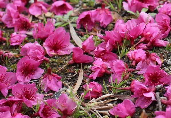 寒緋桜(カンヒザクラ)が散った様子。地面にたくさん花を落とした様子の写真