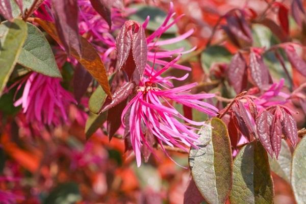 緑葉と銅葉のベニバナトキワマンサク(紅花常磐万作・満作)の様子の写真