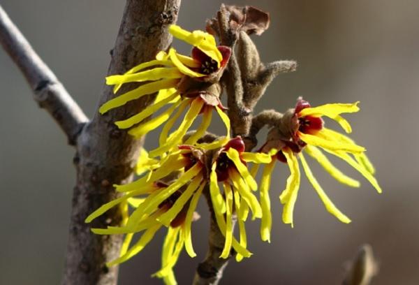 マンサク(万作・満作)の花の写真