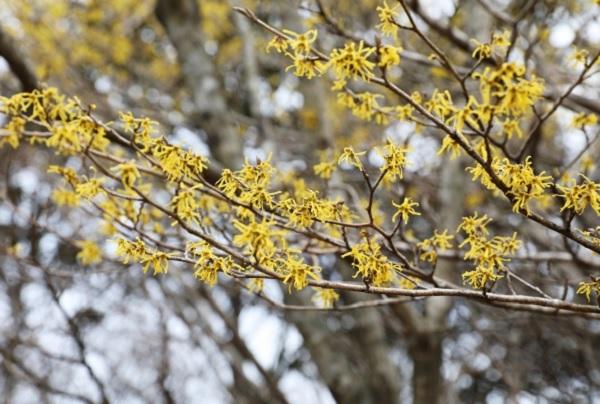 マンサク(万作・満作)の花が咲いてる様子の写真
