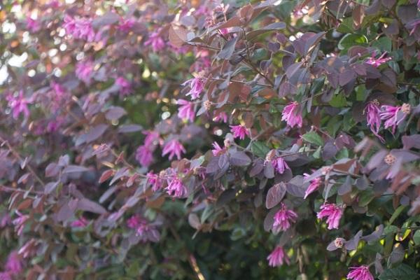 紅葉種のベニバナトキワマンサク(紅花常磐万作・満作)の様子の写真
