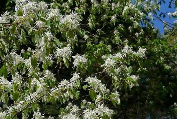 白花のトキワマンサクが満開に咲いてる様子の写真