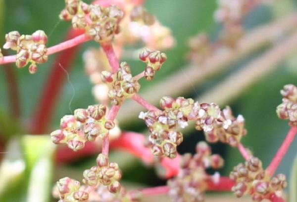 ピレア・ぺぺロミオイデスの花のアップ写真