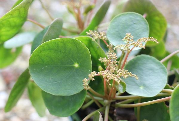 ピレア・ぺぺロミオイデスの花、蕾の時の写真