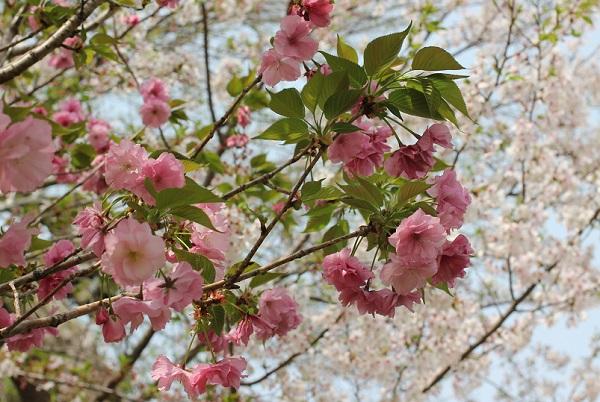 ベニユタカ(紅豊)とソメイヨシノ(染井吉野)が一緒に咲いてる写真