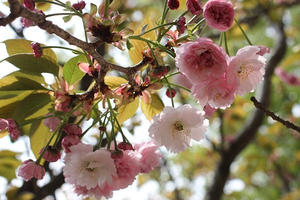 オオムラザクラ(大村桜)、枝から蕾や花が咲いてる様子の写真