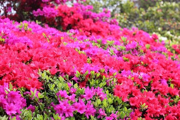 赤と赤紫の寄せ植えのツツジの写真