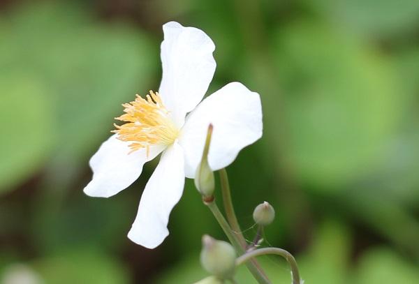 シラユキゲシ(スノーポピー)の花のアップ写真
